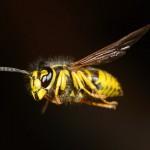 Wespenverdelging